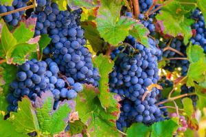Dieta-diabetes-plan-alimentacion-sana-uvas
