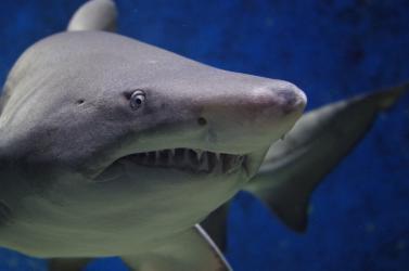tiburon-escualo-nadando-remedios-naturales-artrosis