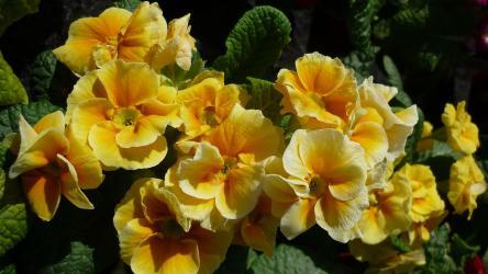 flor-de-primula