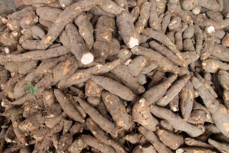 mandioca-yuca-raiz