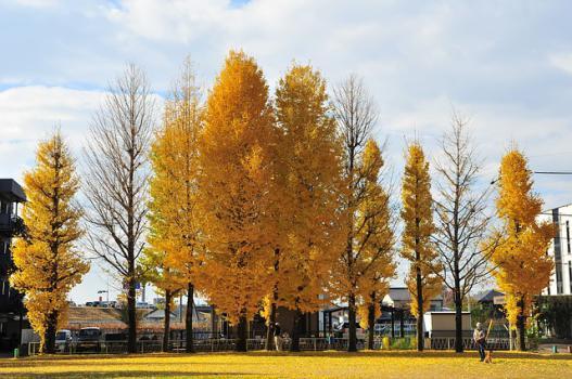 arboles-de-ginkgo-biloba-en-otoño