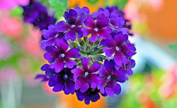 Flores-de-verbena